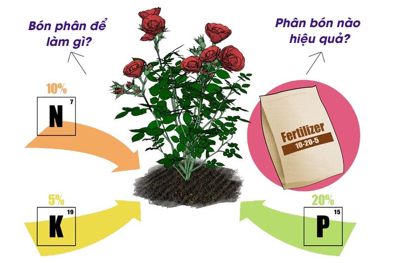 Bón phân cho hoa hồng như thế nào là đúng – đủ ?