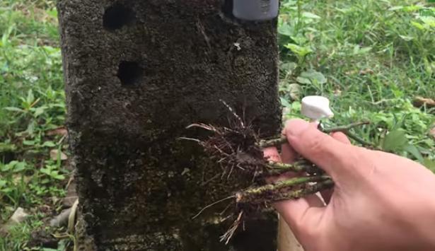 Cách trồng hoa hồng từ cành
