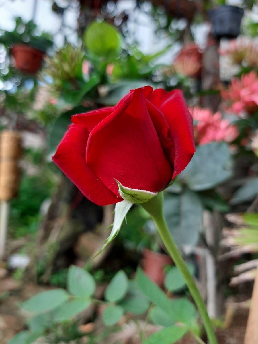 Làm thế nào để bảo vệ hoa hồng khỏe mạnh trong mùa mưa?
