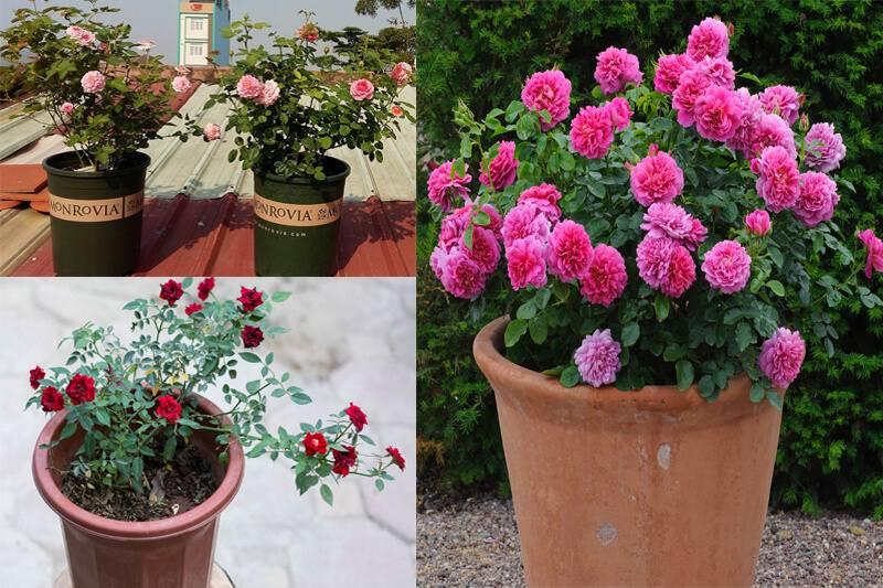Các bước trồng hoa hồng cho người mới bắt đầu