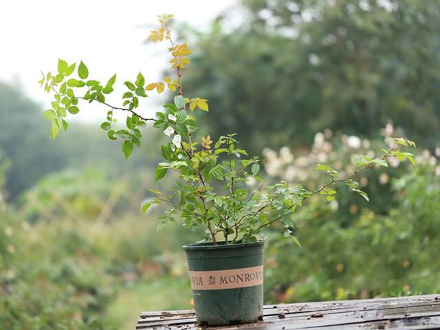 Bí quyết trồng và chăm sóc cây hoa hồng sai hoa, lớn nhanh như thổi