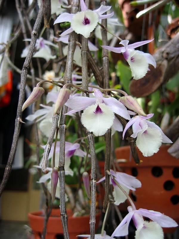 Làm thế nào để cây lan hạc vỹ cho ra hoa quanh năm?