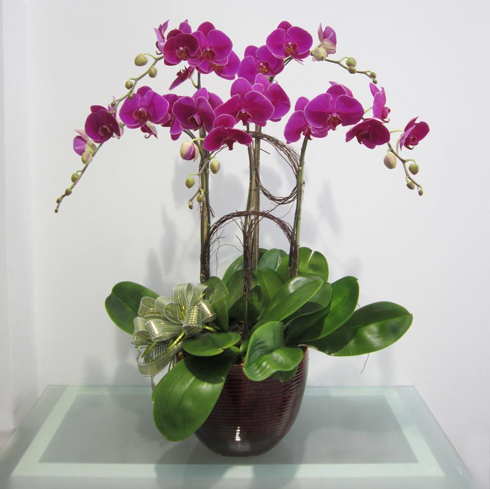 Cách trồng và chăm sóc hoa lan hồ điệp trước và sau tết